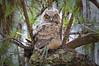 Owl Great Horned 3639