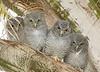 Screech owl babies 1495
