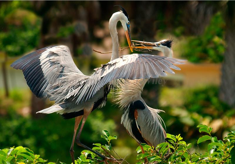 Blue Heron 5747