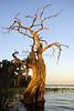 Cypress trees Lake Istokpoga 766