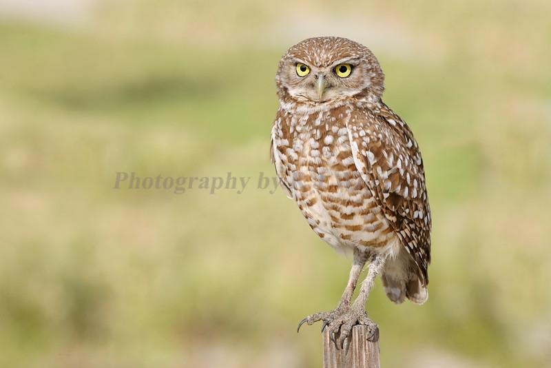 Burrowing owl 8657