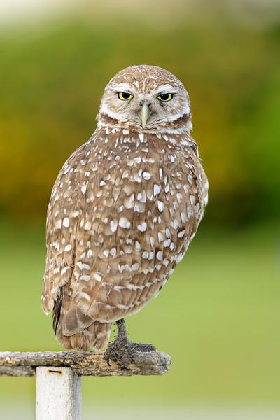 Burrowing owl 8412