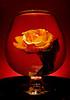 Rose 5124
