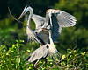 Great Blue Herons 5537