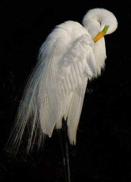 Egret 3167