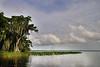 Cypress trees Lake Istokpoga 2577