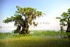 Cypress trees Lake Istokpoga 231