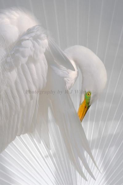 Egret 1008 c