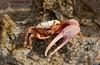 Fiddler crab 7172