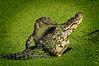 Gators 612