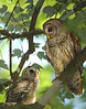 NEW Mother and baby owl 6041