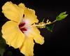 Hibiscus 4123