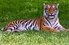 Tiger8175