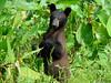 Bear cub standing up4271