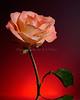 Rose 4815