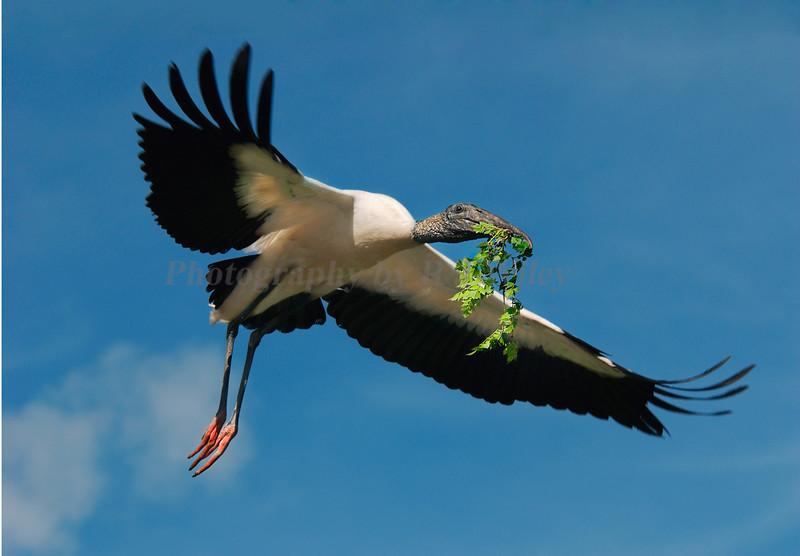 Wood Stork 1607