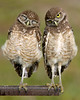 Burrowing Owl 6487