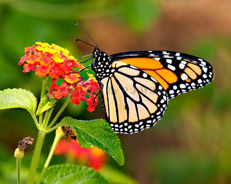 ButterflyMonarch1934
