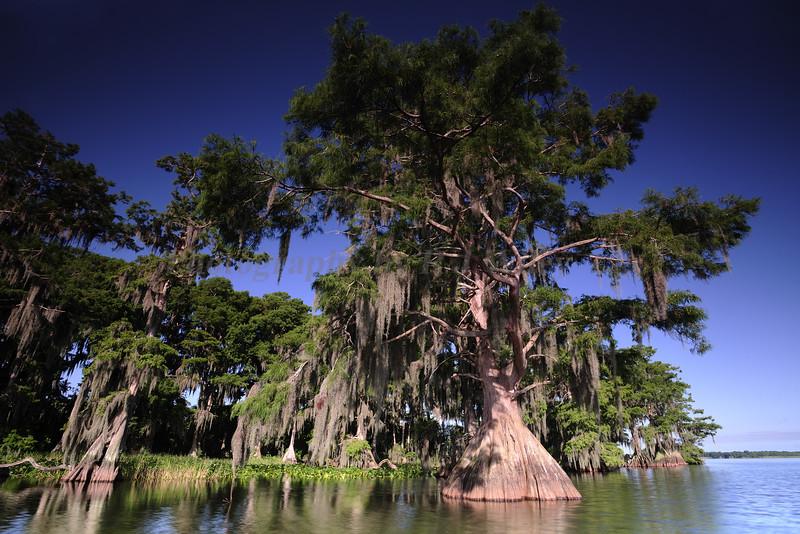 Cypress trees Lake Istokpoga1051