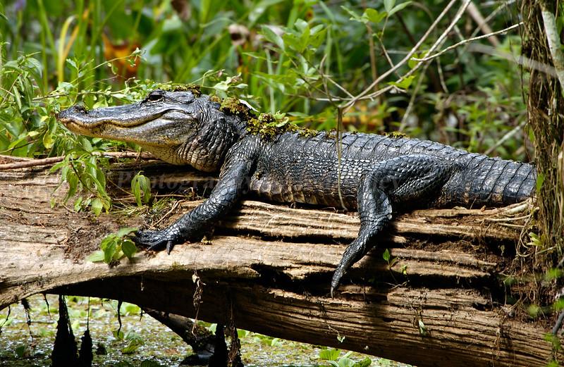 Gator 0114