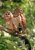Owls 9618
