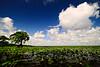 Cypress trees Lake Istokpoga 2071