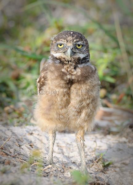 Burrowing owl 8507