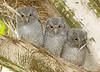 Screech Owl Babies 1429