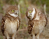 Burrowing Owls  6131