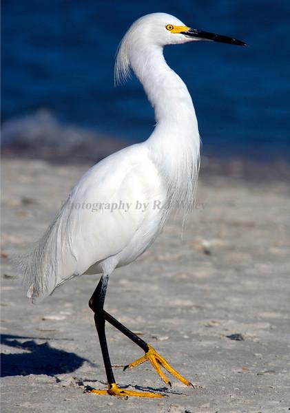 Snowy Egret  2495