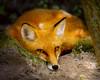 Fox Red 4510RJWiley