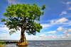 Cypress trees Lake Istokpoga 1952