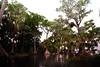 Cypress trees Lake Istokpoga 2688