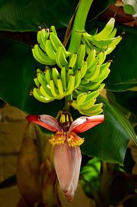 Bananas 7937 a