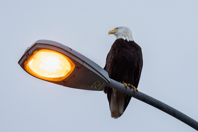 Sitka: Home To A Multitude Of Eagles
