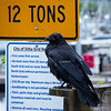 Sitka: Raven - A Common Sight