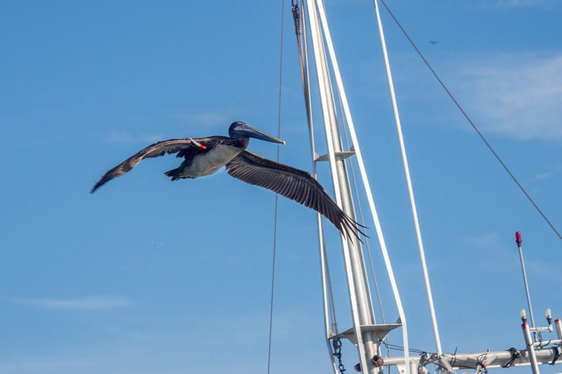 Tarpon Springs, FL .  Fishing Lure Caught In The Wing