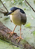 Audubon Swamp at The Magnolia Plantation. Night Heron