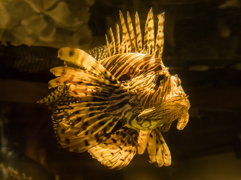 Charleston Aquarium. Lion Fish