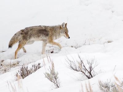 Yellowstone NP. Wildlife