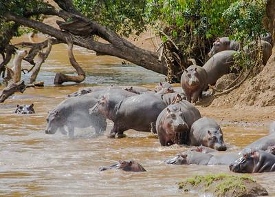 Hippos - Masai Mara, Kenya