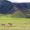 Zebras in the Ngorongoro
