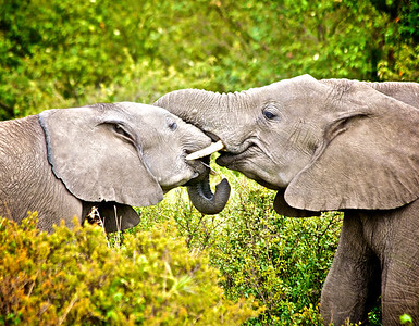 Elephant Kisses