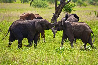 Elephant Wrestle