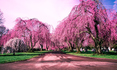 Cherry Blossoms, Lexington Cemetery