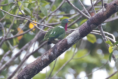Claret-breasted Fruit-dove