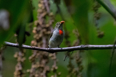 Olive-crowned Flowerpecker