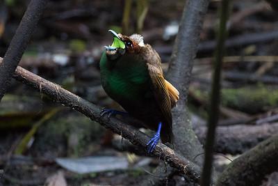 Magnificent Bird-of-Paradise