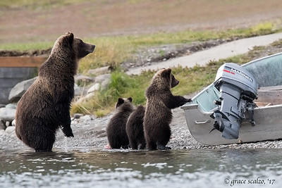 Grizzly bear mum and three curious cubs