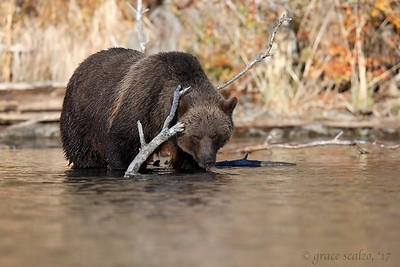 Grizzly bear fishing sequence #1